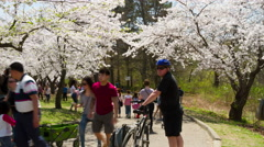 5K Timelapse Cherry Blossoms or Sakura Flowers at High Park, Toronto May 2015 Stock Footage