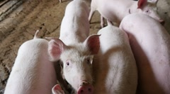 Cute pink pig on a farm, slow motion Stock Footage
