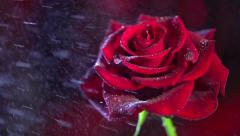 Red Rose Flower close up with water drops. Beautiful Rose watering Stock Footage