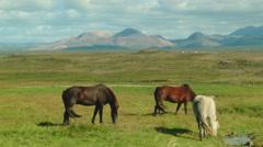 Horses Graze in Lush Green Field in ICELAND Stock Footage
