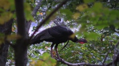 Stock Video Footage of wild tom turkey roosting in a tree nature wildlife