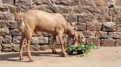 Goat chewing grass in front of bricked wall. Stock Footage