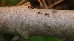 Stock Video Footage of Wood ants on a branch