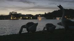 Geese at lake at sunset Stock Footage