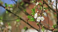 Beginning of flowering cherries Stock Footage