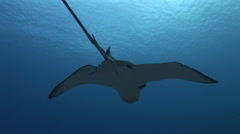 Eagle Ray Yap 1 Stock Footage