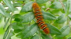 4K Echo Moth (Seirarctia echo) Caterpillar 1 Stock Footage