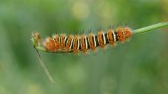 4K Echo Moth (Seirarctia echo) Caterpillar 4 Stock Footage