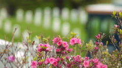 Headstones & Cherry Blossoms at Arlington National Cemetery Stock Footage
