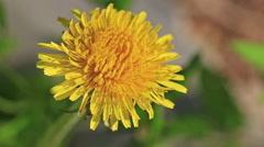 yellow dandelion - stock footage