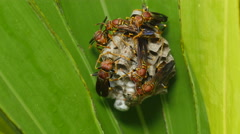 4K Paper Wasp (Polistes exclamans) Nest 3 Stock Footage