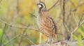 4K Florida Bobwhite (Colinus virginianus floridanus) - Male 3 Footage