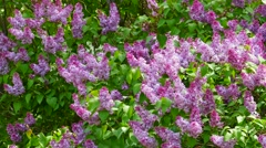Wild Lilacs in Sun and Shade Stock Footage