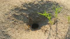 4K Pyramid Ant (Dorymyrmex bureni) Nest 3 Stock Footage