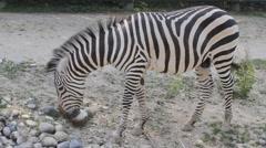 Zebra in zoo Stock Footage