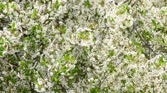White cherry tree blossom and bees collecting nectar Stock Footage