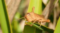 4K Mischievous Bird Grasshopper (Schistocerca damnifica) 1 Stock Footage
