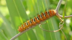 4K Echo Moth (Seirarctia echo) Caterpillar 5 Stock Footage