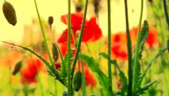 Poppy field. Blooming poppies Stock Footage