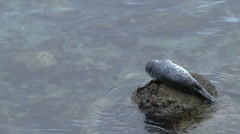 Baby Harbor Seal Sits on a Rock Stock Footage