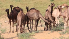 Video 1920x1080 Men and herd camels attended the Pushkar Camel Mela. India Stock Footage