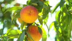 Ripe organic peaches hanging on a branch in orchard Stock Footage