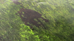 Waving algae with the water stream a stream - stock footage