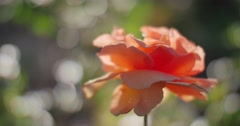 Beautiful rose flower in garden. Closeup, shallow DOF. 4K UHD. - stock footage