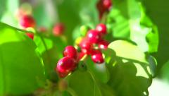Red coffee beans hanging on a branch of coffee tree Stock Footage