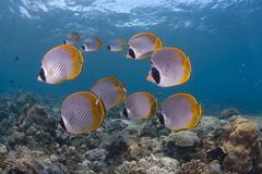 School of Panda Butterflyfish - stock photo