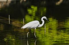 Great White Egret (Ardea Alba) fishing - stock photo