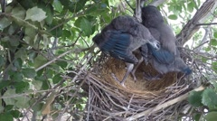 Scrub Jay chicks stretching flappng V18268 Stock Footage