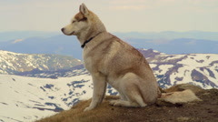 calm husky on the top of a mountain - stock footage