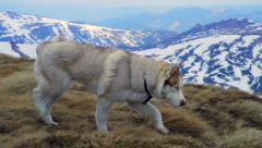 Husky walking in snowy mountains slow motion Stock Footage