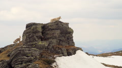 Two huskies on the top of a rock Stock Footage