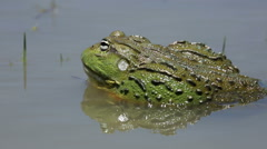 African giant bullfrog calling Stock Footage