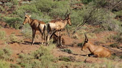 Red hartebeest interaction - stock footage