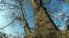Sycamore Tree Stock Footage