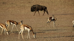 Springbok antelopes and blue wildebeest Stock Footage
