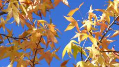 Autumn golden leaves over blue sky background - stock footage
