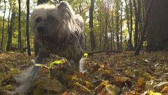 Funny dressed puppy playing in the autumn city park Stock Footage