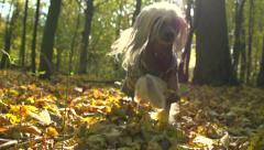 Funny dressed puppy playing in the autumn city park - stock footage