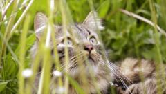 Cat in tall grass Stock Footage