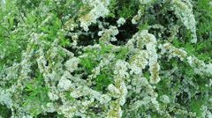Spiraea in garden Stock Footage