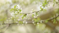 Cherry tree blossom with white flowers Stock Photos