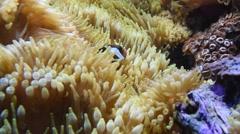 Saddleback clownfish Stock Footage