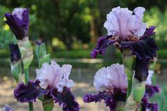 White purple flower iris Stock Photos