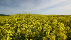 Rotating view through yellow flower crop fields Stock Footage