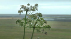 A Tundra Cotton Plant ICELAND Stock Footage