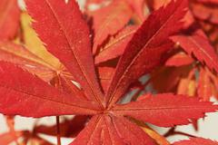 Red leaves of acer palmatum in close up - stock photo
